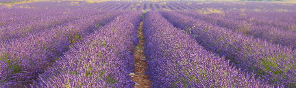 About Paint Provence with Tess_nearby Lavender fields